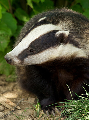 churchwood_badger